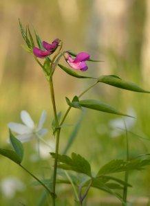 Puupezea, orăstică, Lathyrus vernus, Orobus vernus,
