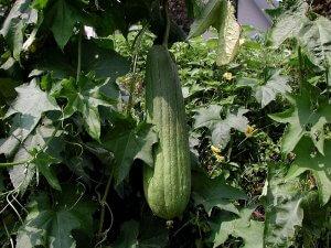 Luffa - Egyptian Loofah - Luffa Cylindrica - Sponge Plant