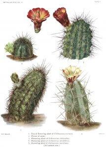 Cactacee, cactus