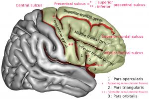 Girusuri cerebrale